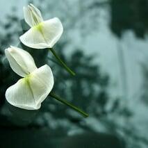 Milk flowers (Hoa Sữa) Pictures